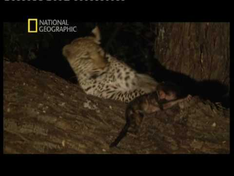 Леопард и Бабуин National Geographic Channel-2009-10-02.mpg